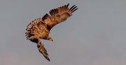 24th Feb 2021 - Young Bald Eagle!
