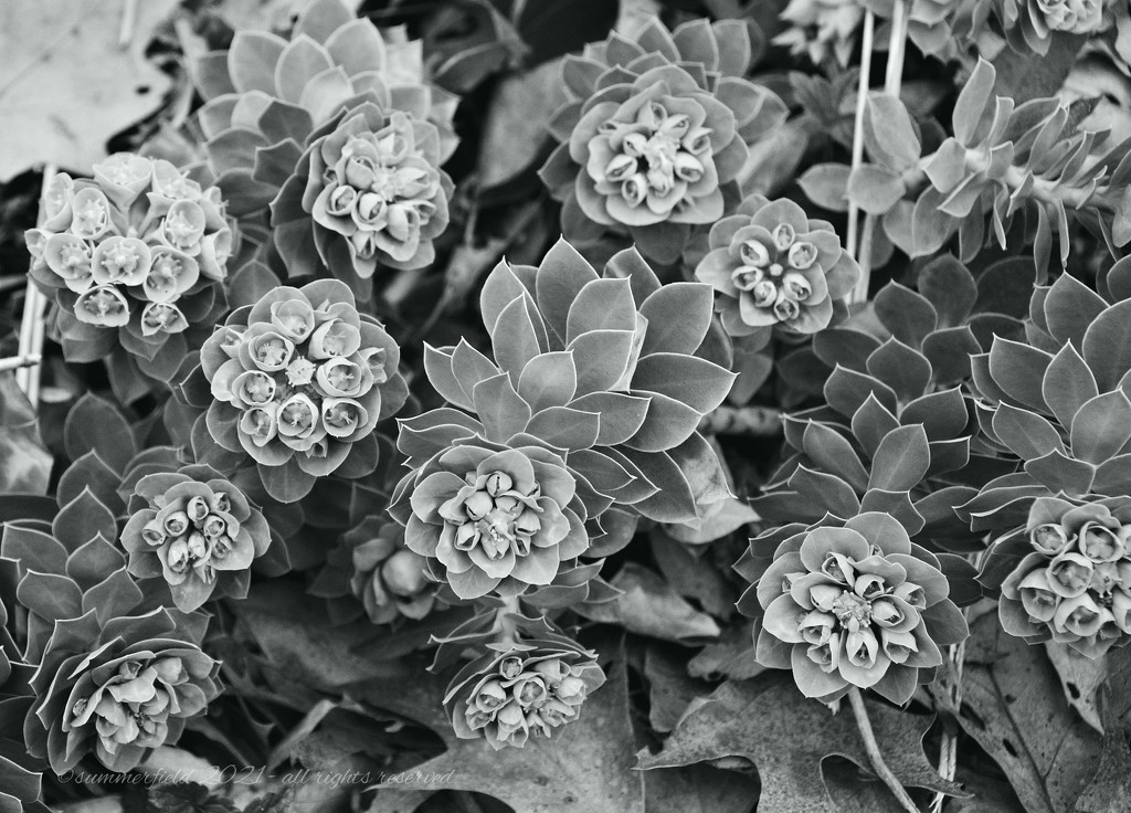succulents by summerfield