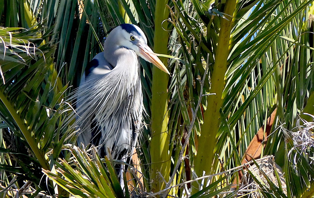Blue Heron in the Palms by redy4et