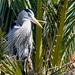 Blue Heron in the Palms