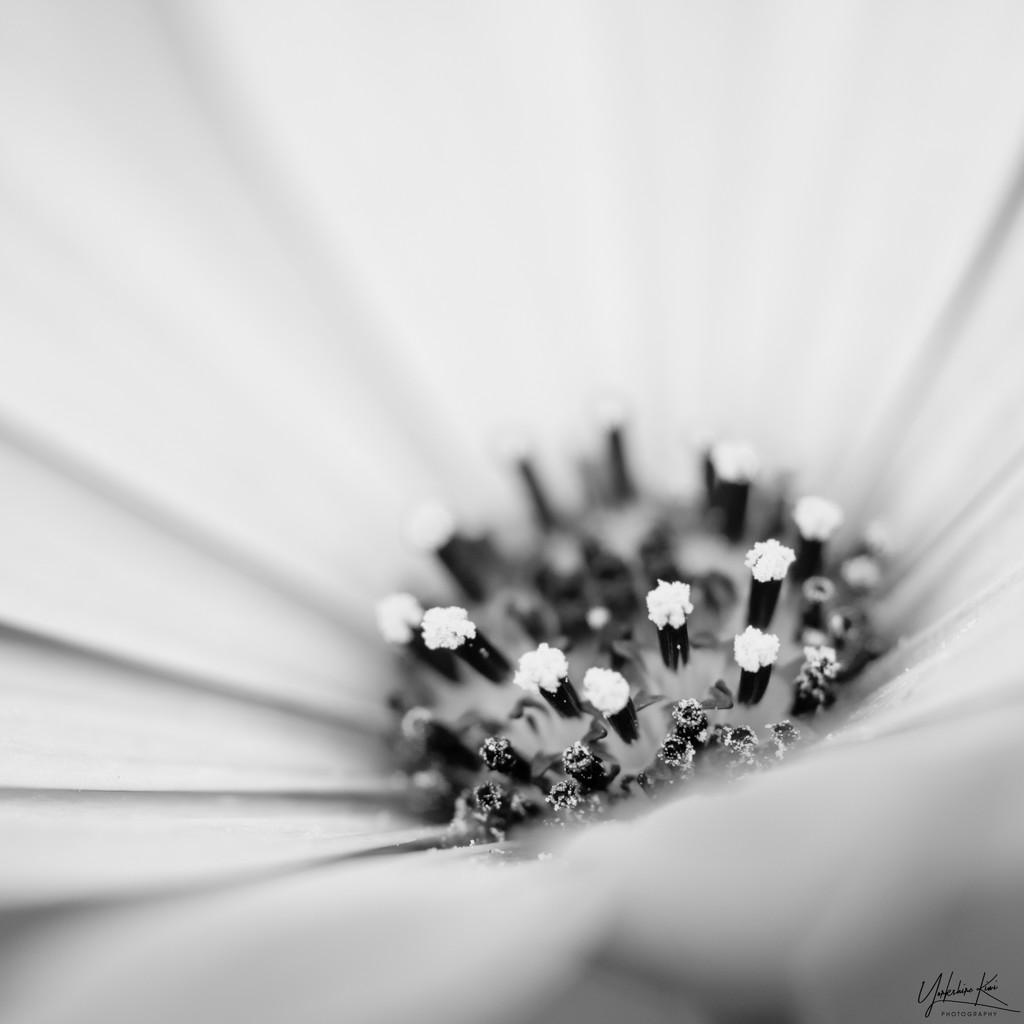 African daisy macro by yorkshirekiwi