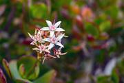 23rd Feb 2021 - Jade Plant Blossom