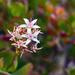 Jade Plant Blossom
