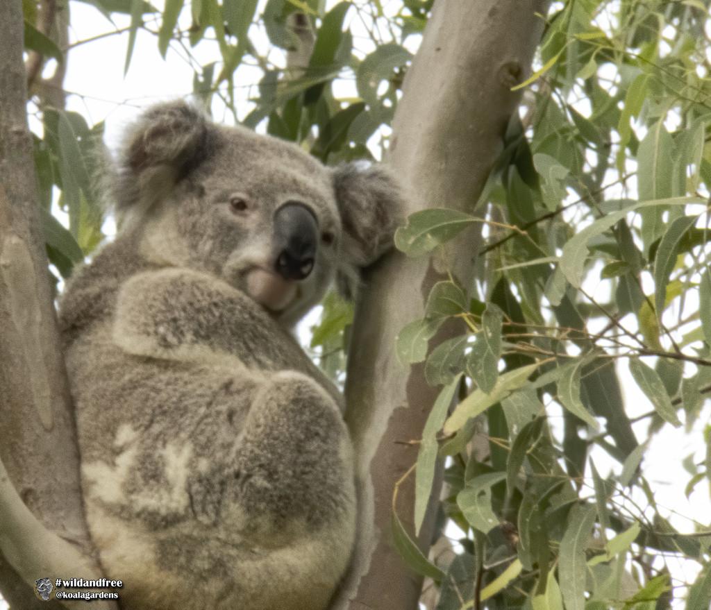 Ash is back by koalagardens