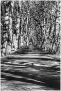 24th Feb 2021 - My favourite avenue of trees on our stroll yesterday.