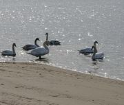 24th Feb 2021 - Some Swans
