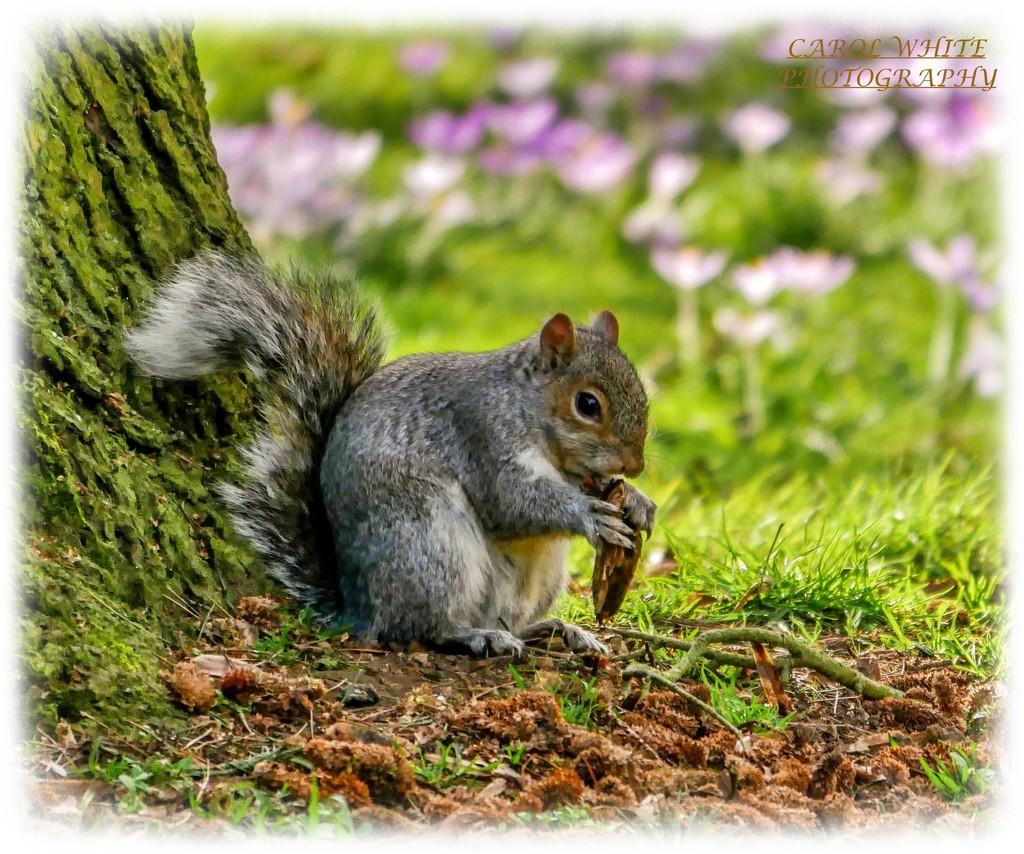 Squirrel Nutkin by carolmw