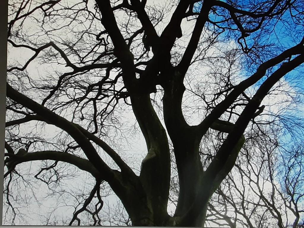 Tall Beech Tree. by grace55