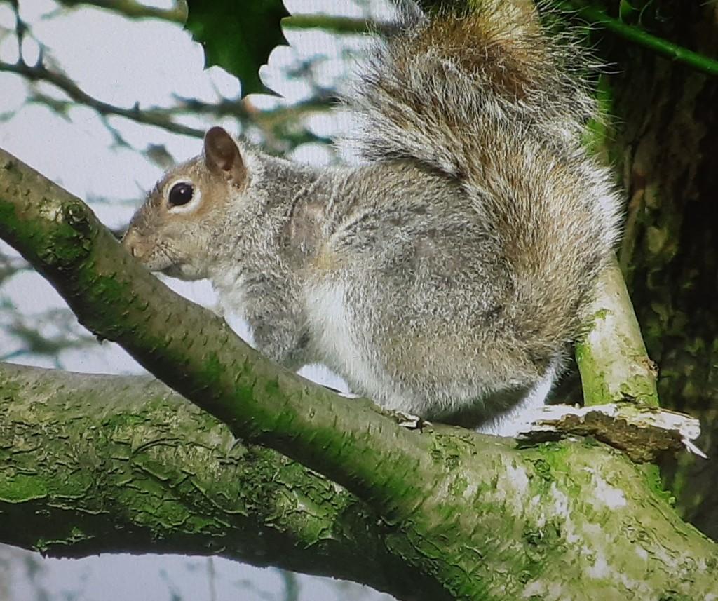 Grey squirrel in Cut Wood by grace55