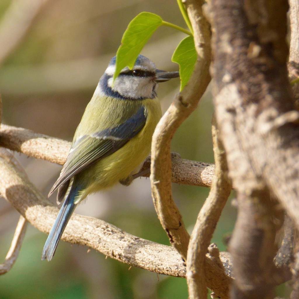 Bluetit in the ivy vines...... by ziggy77