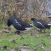 A pair of Moorhens