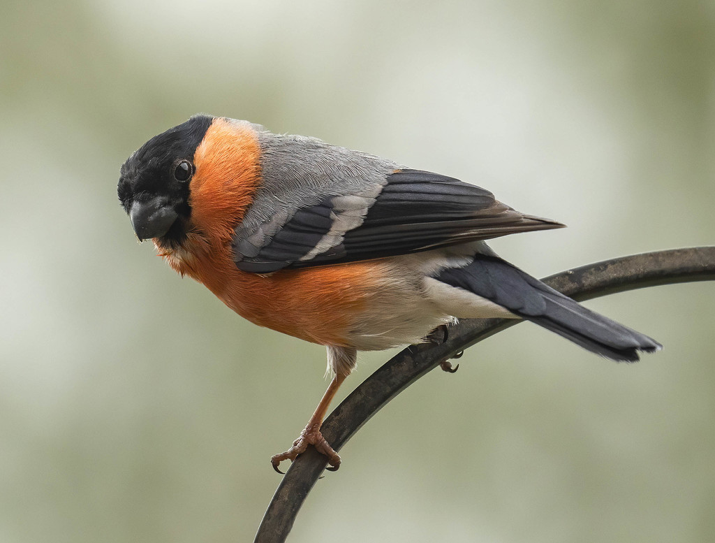Bullfinch  by shepherdmanswife