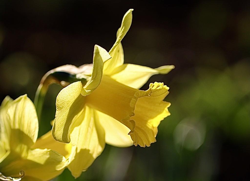 Garden Daffs by carole_sandford