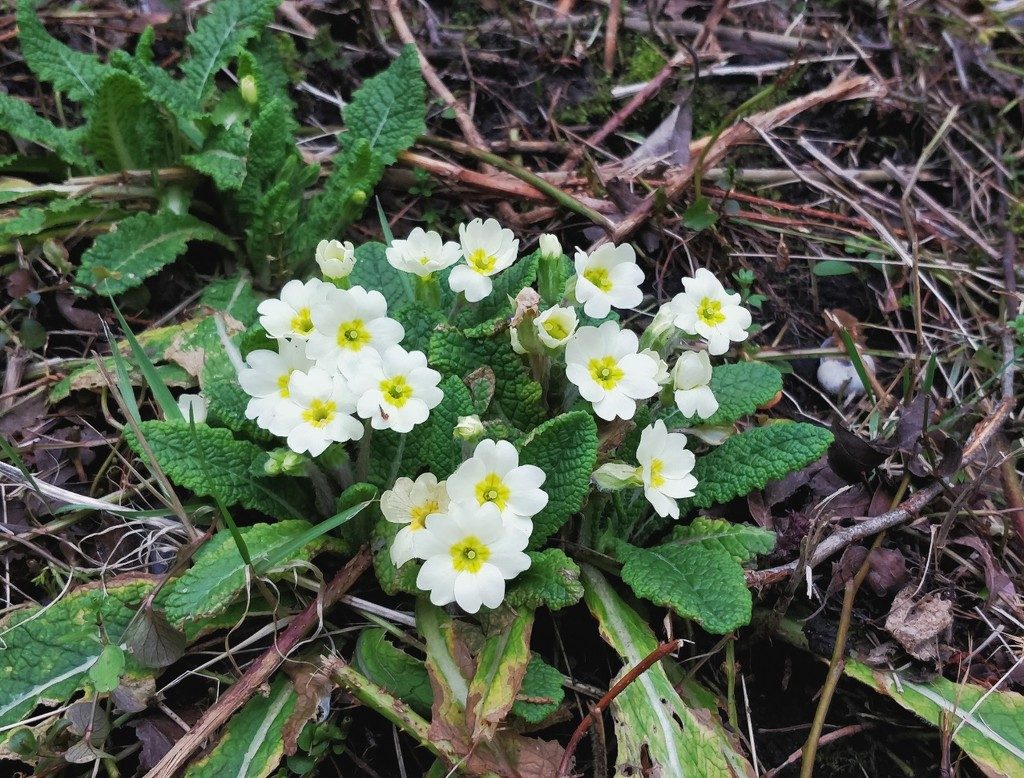 Primroses by roachling