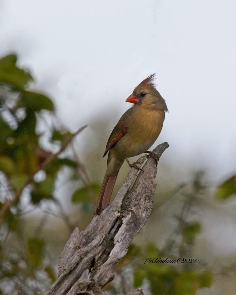 LHG_9780- Female Redbird by rontu