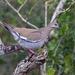 LHG_9797- White-winged Dove