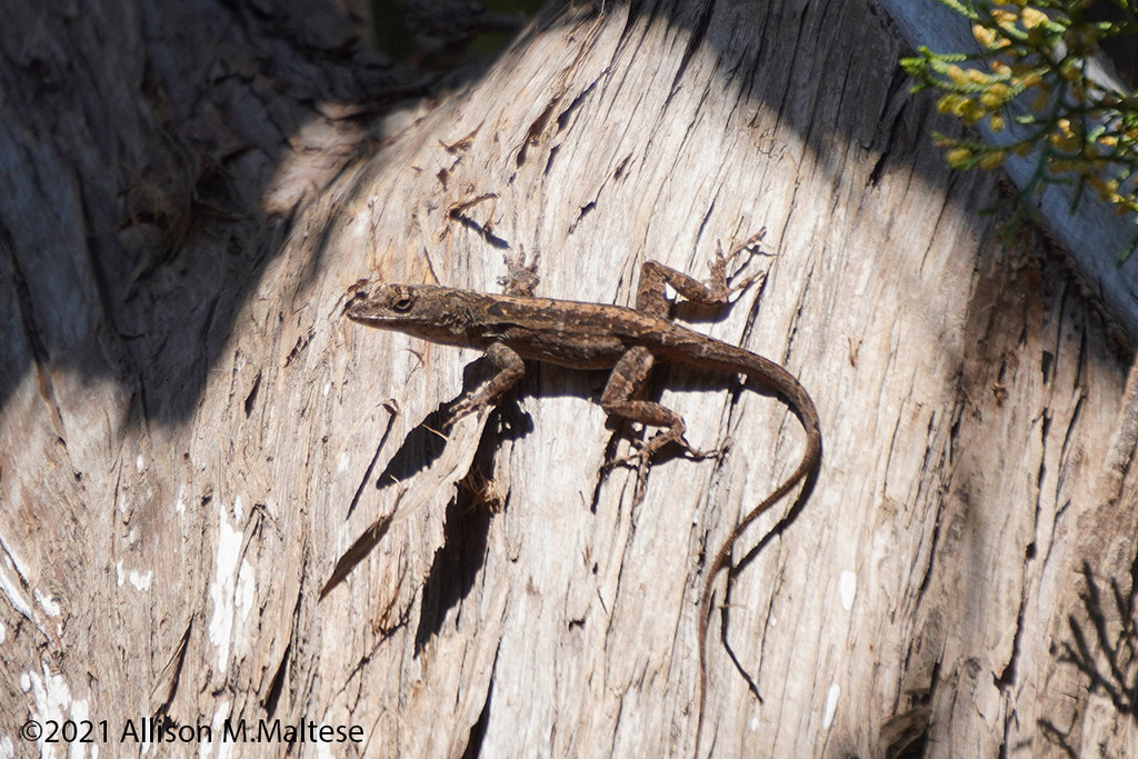 Brown Anole by falcon11