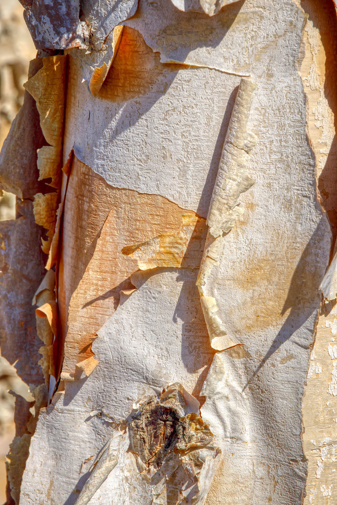 Birch Bark by kvphoto