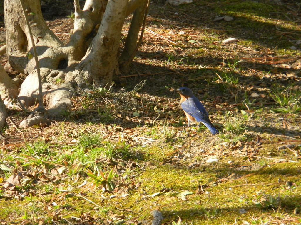 Bluebird in Backyard by sfeldphotos
