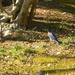 Bluebird in Backyard