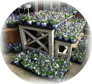 26th Feb 2021 - violets