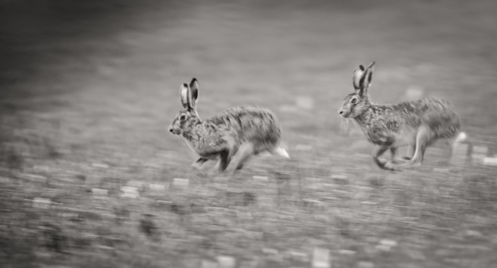 Hares... by vignouse