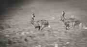25th Feb 2021 - Hares...