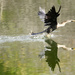 Anhinga at take off