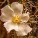Rose Flower!