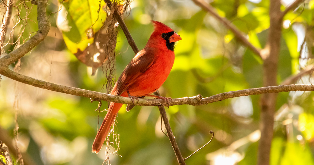One More Cardinal! by rickster549
