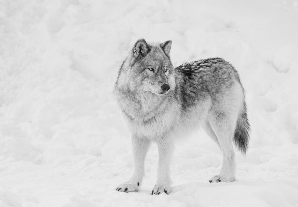 Gray Wolf by sprphotos