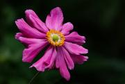 26th Feb 2021 - Pink Windflower - Aka Japanese anemone