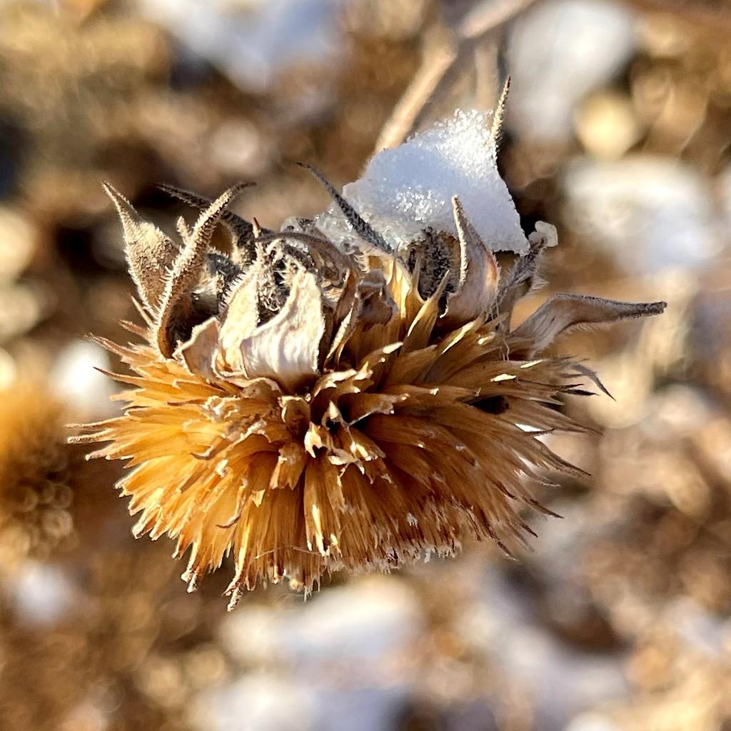 Snow on Sunflower  by sandlily