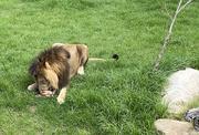 26th Feb 2021 - Hungry Lion