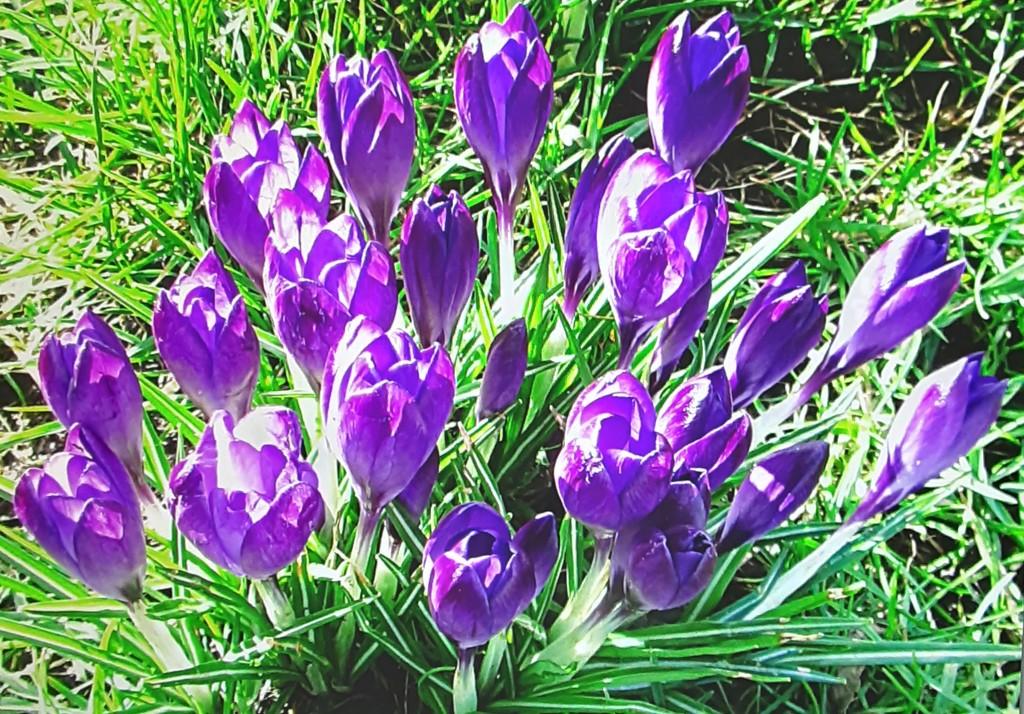 Purple crocuses in a grassy path. Chapel Street. by grace55