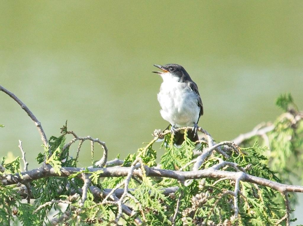 King Bird Chick by gardencat