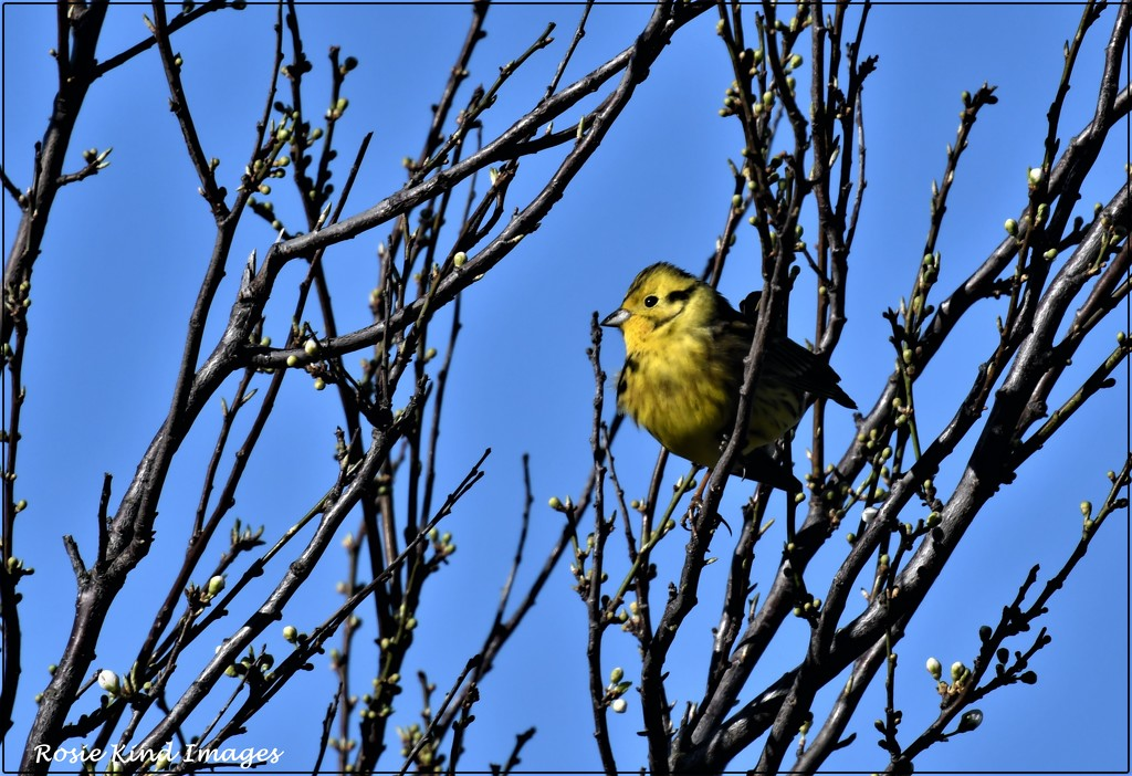 I saw lots of yellowhammers by rosiekind