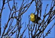 26th Feb 2021 - I saw lots of yellowhammers