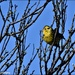 I saw lots of yellowhammers