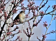 26th Feb 2021 - Singing in the blossom