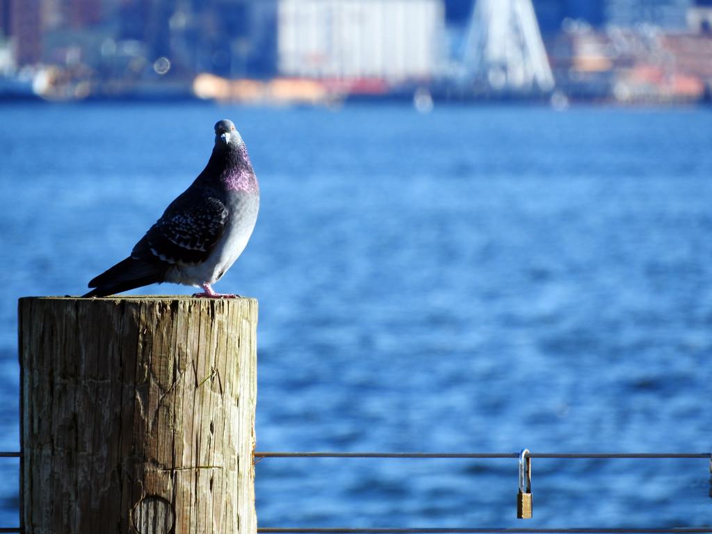 Pigeon by seattlite
