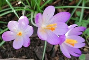 26th Feb 2021 - Crocuses