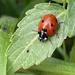 Ladybird hunting