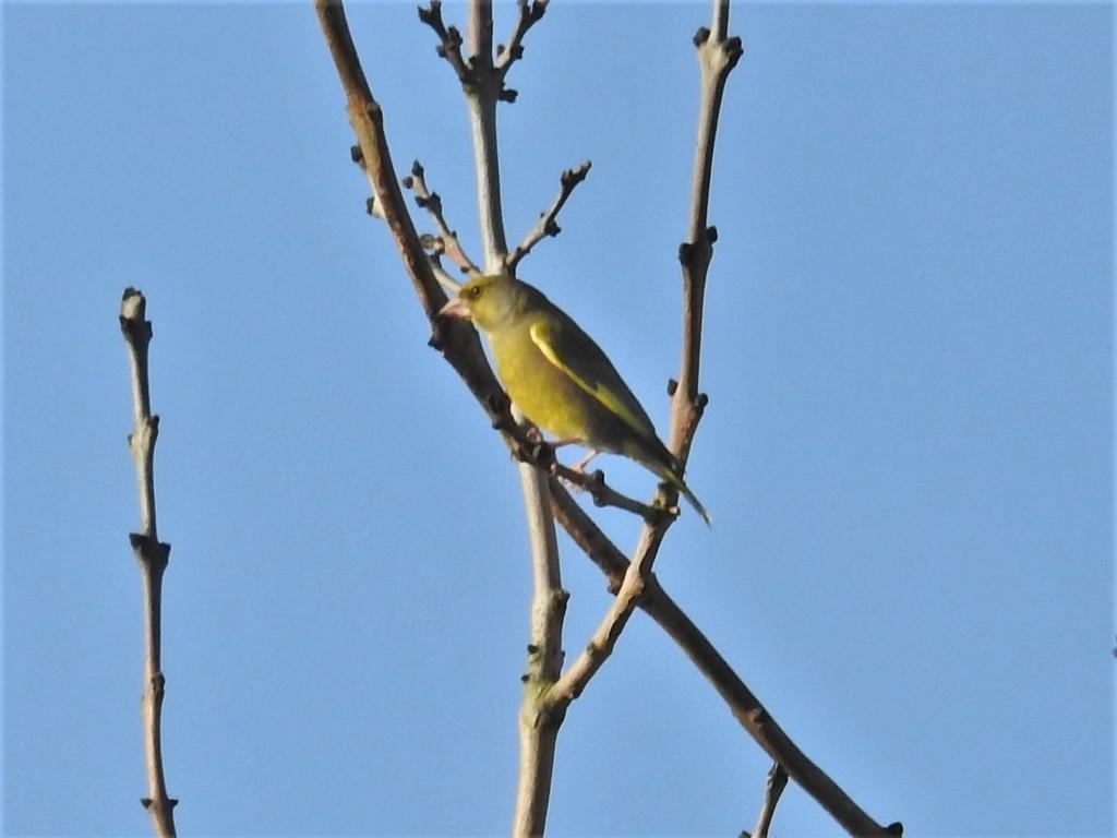 Greenfinch by oldjosh