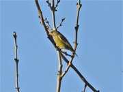 1st Feb 2021 - Greenfinch
