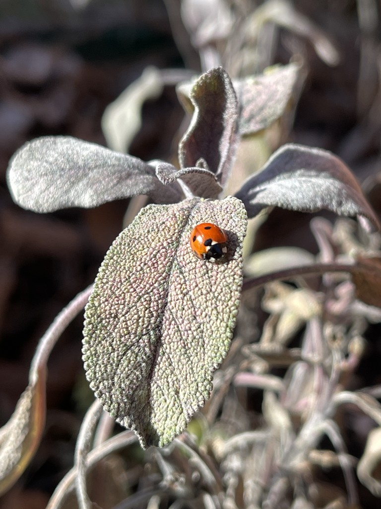 First ladybird by tinley23