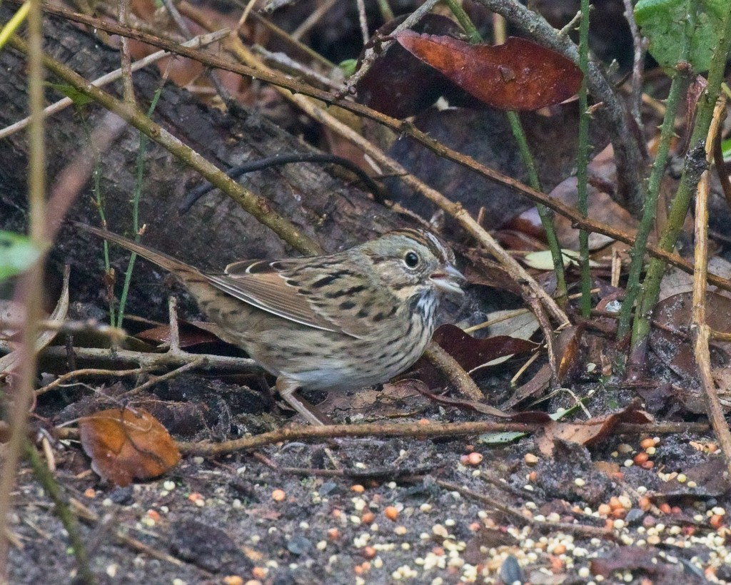 LHG_9790- Lincoln`s Sparrow by rontu