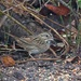 LHG_9790- Lincoln`s Sparrow