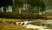 26th Feb 2021 - Gathering of the geese.