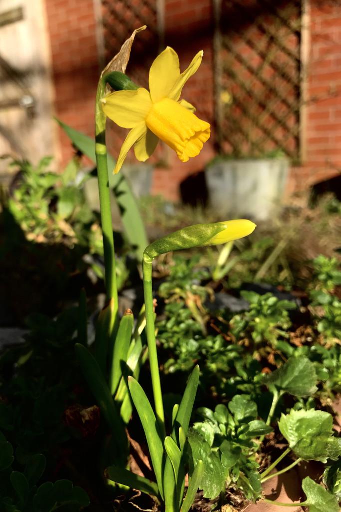 Daffodowndilly by daffodill
